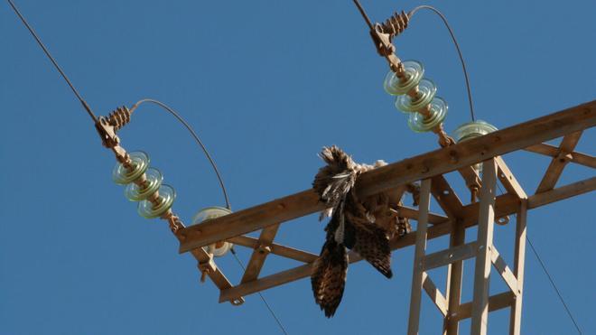 ¿Por qué mueren las aves en los tendidos eléctricos?