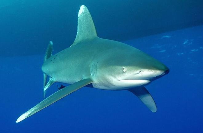 Los tiburones usan los campos magnéticos de la Tierra para orientarse