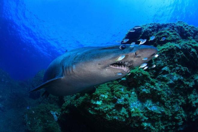 El misterioso tiburón solrayo, objeto de una campaña de protección en Canarias