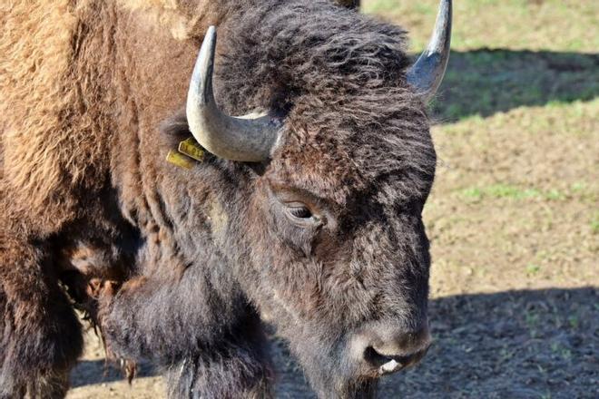 La vuelta de los bisontes a España ayudaría a reducir incendios