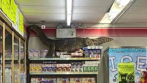 Este lagarto gigante entra a una tienda y destroza todo lo que encuentra a su paso
