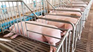 Nuevo paso hacia la prohibición de jaulas en la cría de animales
