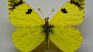 ¿Por qué la 'azufrada ibérica' ha sido elegida Mariposa del Año 2021?