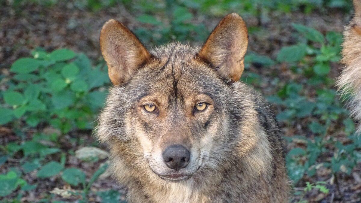 El lobo queda protegido en toda España: hasta 2 millones de multa por cazarlo
