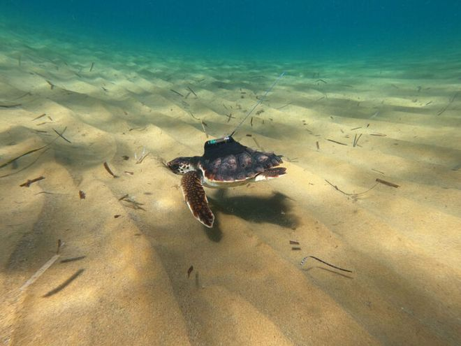La proeza de la pequeña tortuga 'Argonauta' desde Murcia hasta Grecia